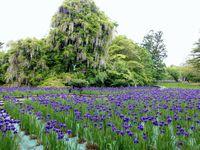 菖蒲の花と藤の滝♪