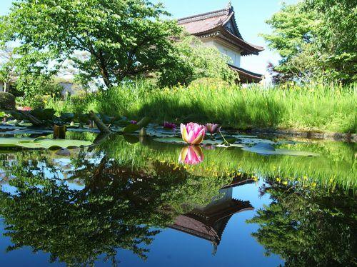 松山城の睡蓮♪