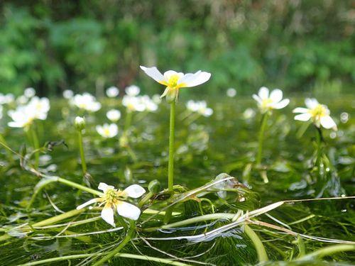 牛渡川の梅花藻♪