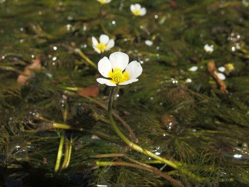 梅花藻咲き初め♪