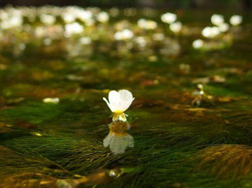 昨日の梅花藻♪