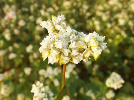 鳥海山と蕎麦の花♪