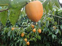 大和柿の収穫