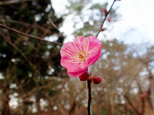 日枝神社に梅の咲く♪