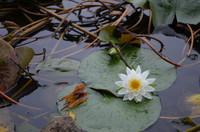 上池の水連