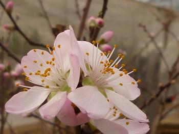 はながさの丘には、アーモンドの花が咲いています。
