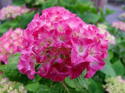 紫陽花の朝