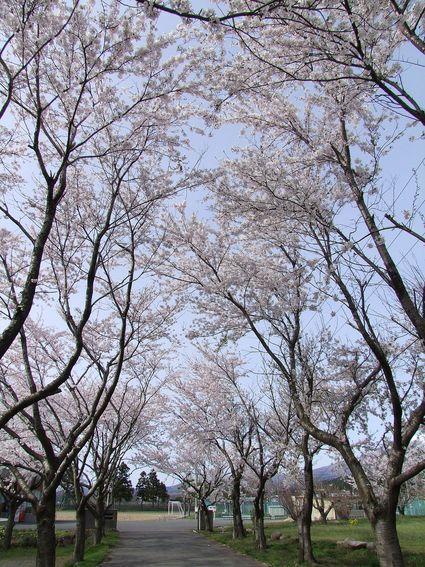 桜のトンネル ~私的遊佐桜めぐり ⑤~