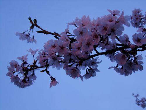 八面川桜夕景散歩