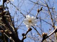 浮かれ桜♪