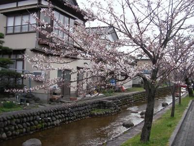 八面川の桜