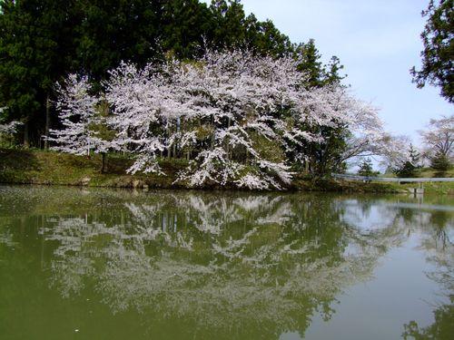 野沢公園の桜
