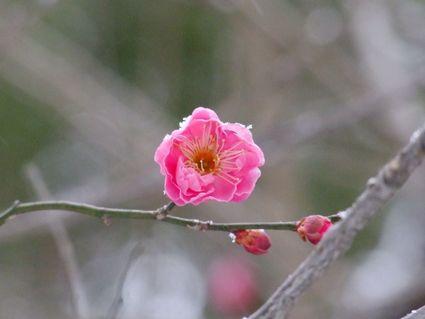 日枝神社の梅