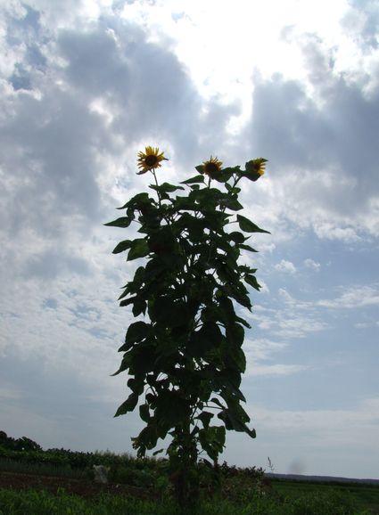 残暑の向日葵