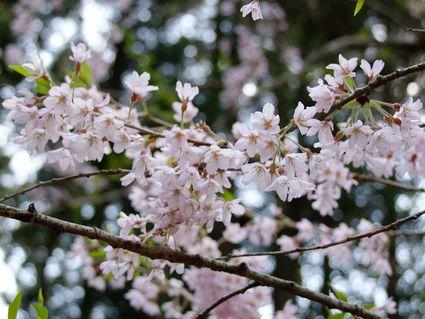 藤井のエドヒガン桜 ~私的遊佐桜めぐり ⑦~