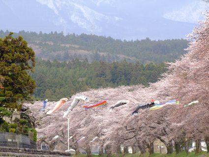 中山堤桜並木①~4/26 16:00~