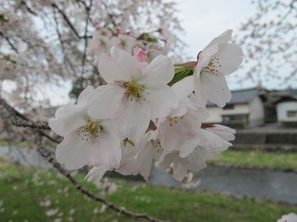 中山堤桜並木②~4/27 15:00~