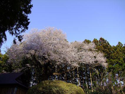 藤井のエドヒガン桜