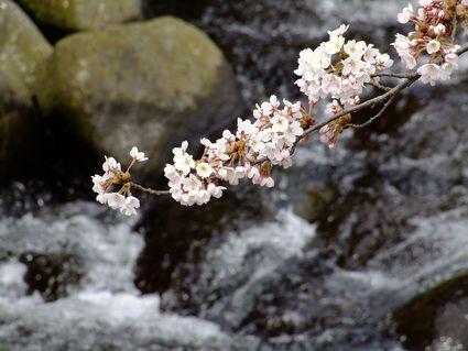 五分咲き中山堤