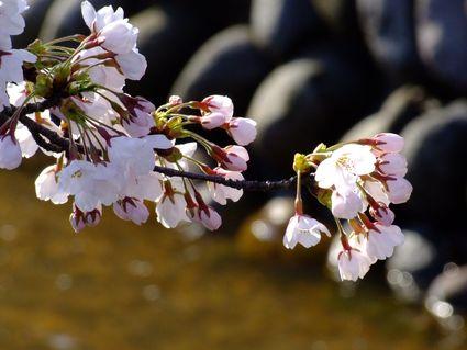 八面川朝桜