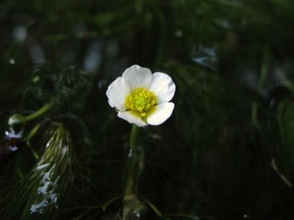 梅花藻、目覚める♪