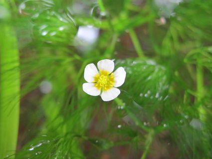 花藻の川  ~七月の牛渡川~