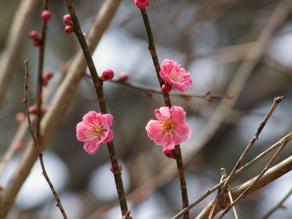 昨日の梅  ~日枝神社 梅だより ④~