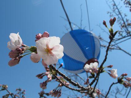 透かし桜♪