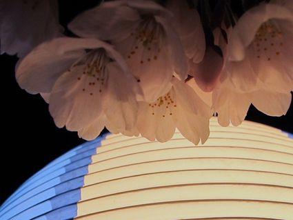 八面川夜桜見物♪