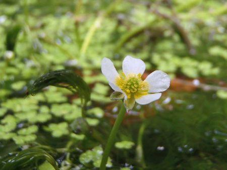 梅花藻の季節♪