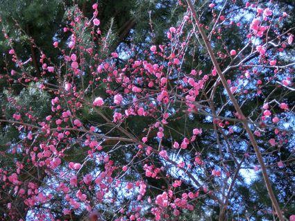 早咲きの梅満開 ~日枝神社 梅だより~