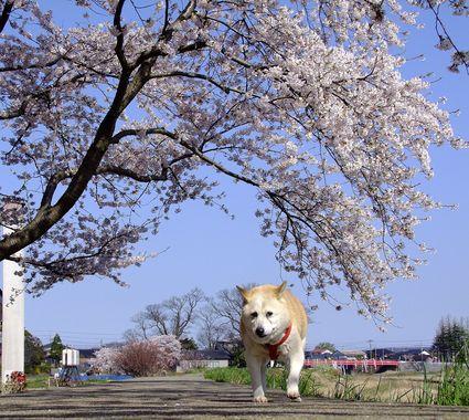 チコ婆と桜