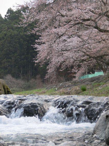 今朝の中山堤桜♪
