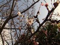 早咲き桜!