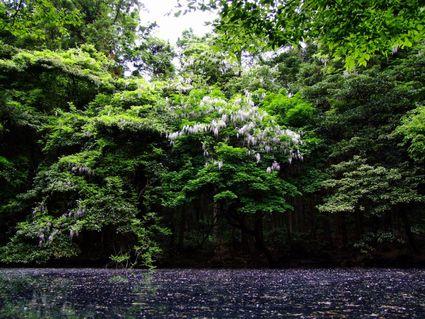丸池様と藤の花♪