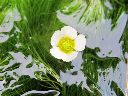 梅花藻、咲きました♪