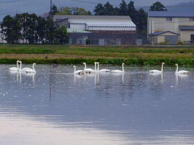 水田と白鳥