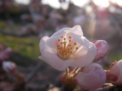 桜の雪洞(ぼんぼり)