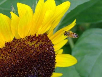 蜂と向日葵