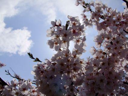 桜の散歩 ~私的遊佐桜めぐり ②~