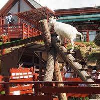 ガラガラドン 山羊の丸太