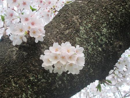 幹から直の桜