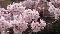 平成25年4月20日(土)21日(日)鶴岡桜まつり