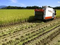 稲刈りクライマックス