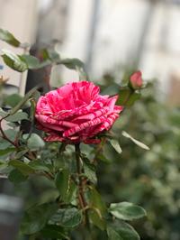 頑張る薔薇٩(๑❛ᴗ❛๑)۶