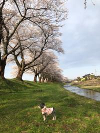 遊佐町の中山河川敷公園の桜満開ヽ(^◇^*)/ ワーイ