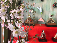 仏壇のさとうでお花見( ๑*╹౪╹*)(╹౪╹*๑)ネー