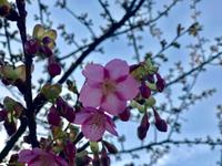 河津桜咲いたよ〜〜ლ(ʘ▽ʘ)ლ