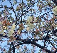 緑色の桜٩(๑❛ᴗ❛๑)۶