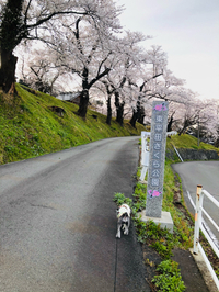 桜満開で誕生日を迎えました❤(〃ʘ▿ʘ〃)